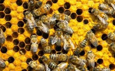 Arılar dünyanı məhv olmaqdan necə xilas edir?